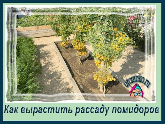 Как вырастить рассаду помидоровt