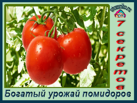 Богатый урожай помидоров